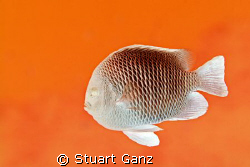 Please don't touch the Martian Damselfish, they're hot! by Stuart Ganz 
